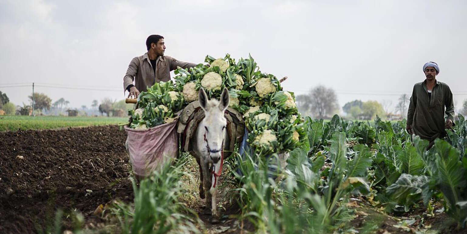 المزارعين