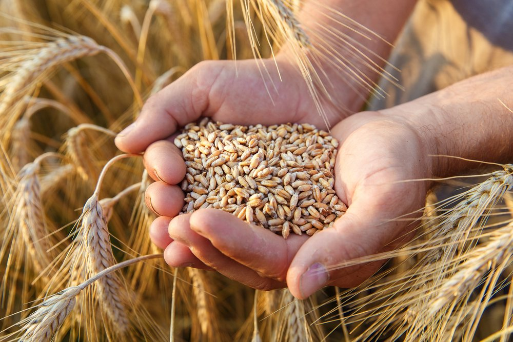 القمح